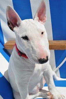 Bull Terrier, Dog, Animal, White