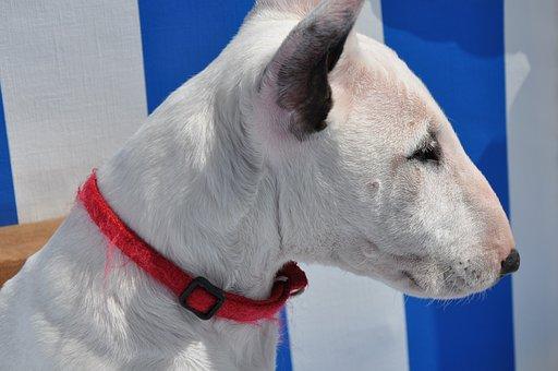 Bull Terrier, Dog, Animal, White Bull Terrier, White