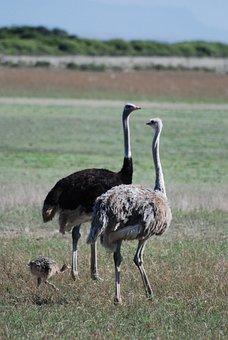 Ostrich, Bird, Animal, Wildlife, Wild, Nature, Beak