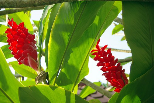 Ecuador, Amazonie, Flower, Wild Flower, Exotic Flower