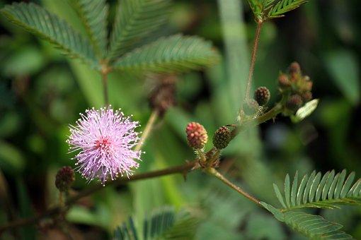 Wildflower, Flower, Mimosa Pudica Flower Leaves, Floral