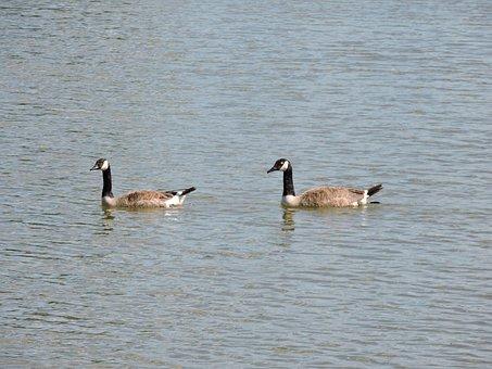 Geese, Water, Bird, Wildlife, Animal, Lake, Goose
