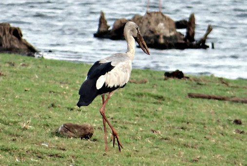 Asian Openbill, Asian Openbill Stork