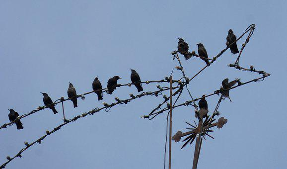 Starlings, Christmas Star, Belen Star, Humor, Birds