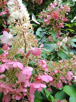 Hydrangea, Perennial, Pinky Winky, Flowers, Bloom, Pink