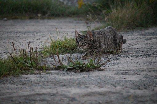 Cat, Sneak Up On, Hunting, Domestic Cat, Kitten