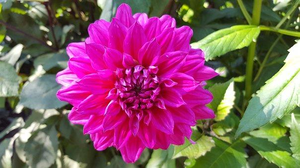 Dahlia, Engelhardts Matador, Flower, Blossom, Bloom