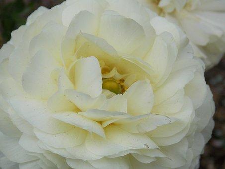Gardenia, Flower, Flora