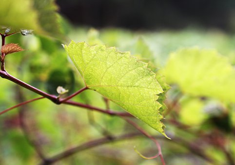 Grape Parreral, Grape Leaf, Grape Branch, Viticulture