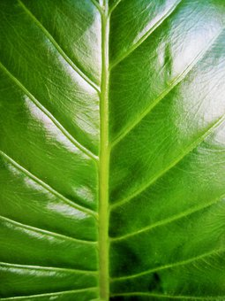 Leaf, Large, Shiny, Veined, Plant, Natural, Botanical