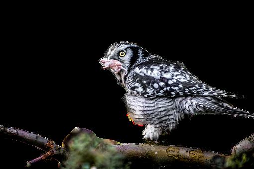 Owl, Eat, Hunt, Mouse, Raptor, Bird Of Prey, Prey
