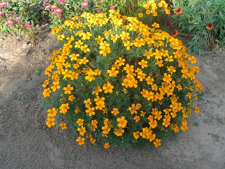 Tagetes, Amaranth, Flower, Orange, Summer, Nature
