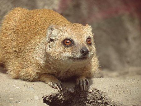 Meerkat, Animal, Mammal, Zoo, Děčín Zoo
