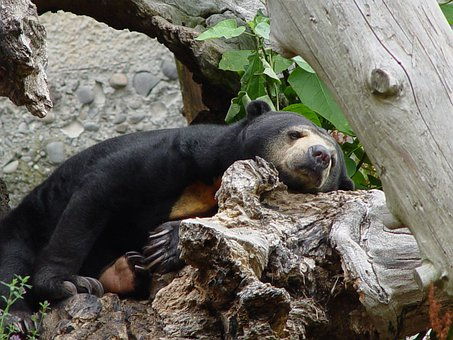 Sun Bear, Helarctos Malayanus, Bear, Resting, Animal