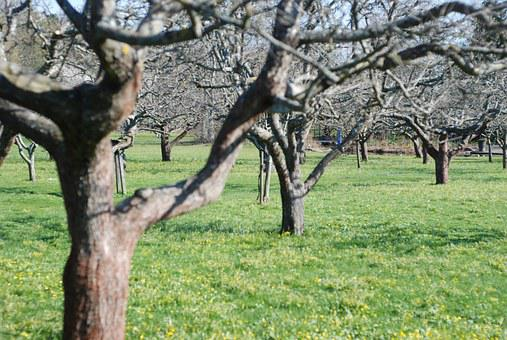 Orchard, Apple Trees, Garden, Trees, Early Spring