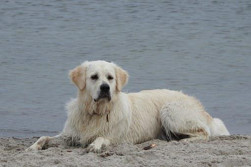 Golden Retriever, Dog, Beach