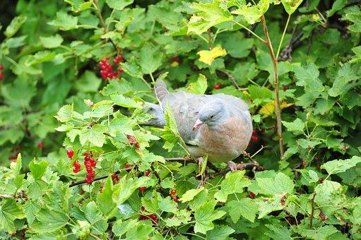 Dove, Bird, Wood Pigeon, Tree, Berry, Mat, Eat