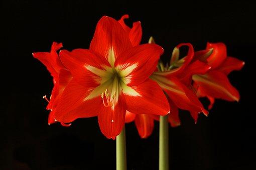 Amaryllis, Flower, Blossom, Bloom, Red, Amaryllis Plant