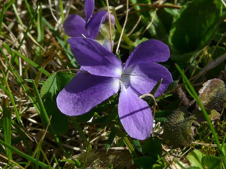 Wald Violet, Violet, Purple, Blue, Wild Flower, Bloom
