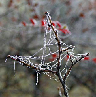 Spruce, Cobweb, Ice, Not Cold, Frost, Frosted, Morning