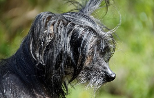 Dog, Chinese Crested Dog, Chinese Chocholáč