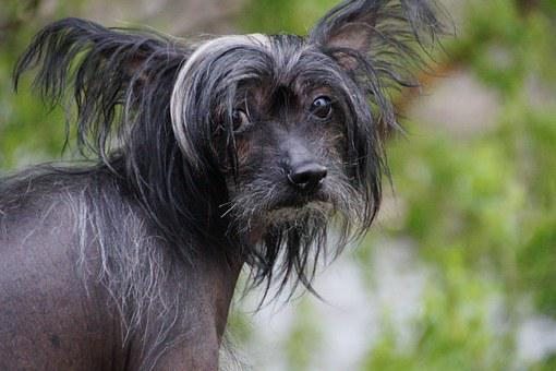 Dog, Hairless Dog, Chinese Crested Dog