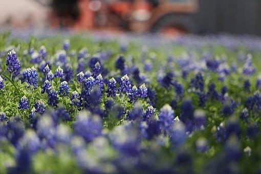 Bluebonnets, Texas, Collinsville, Farm, Rural