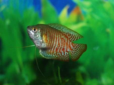 Fish, Gourami, Tank, Underwater, Tropical, Life