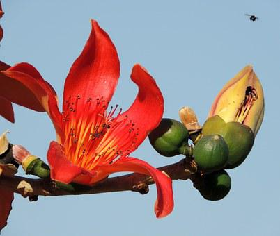 Flower Of Ceiba Speciosa, Flower, Tree, Ceiba Speciosa