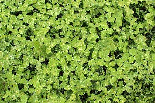 Clovers, Lucky, Luck, Chance, Green, Grass, Plants