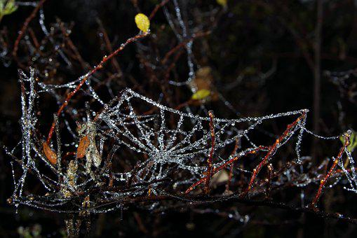 Spruce, Cobweb, Ice, Not Cold, Frost, Night, Frosted