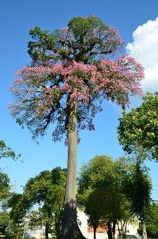 Paineira Flowering, Ceiba Speciosa, Curitiba, Paraná