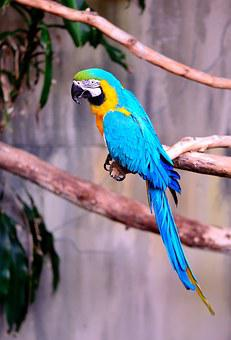 Macaw, Parrot, Exotic, Bird, Blue And Gold Macaw