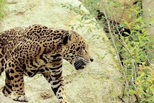 Jaguar, Big Cat, Predator, Prowl, Fur, Wild Animal