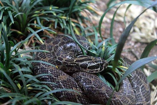 Mexican Lance-headed Rattlesnake, Rattlesnake