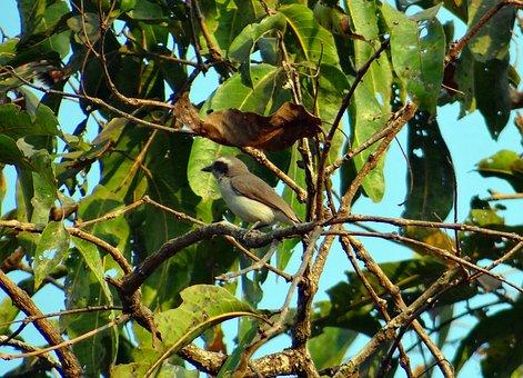 Common Wood Shrike, Tephrodornis Pondicerianus, Forest