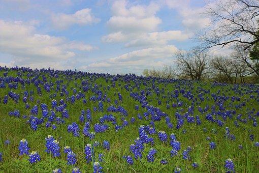 Wildflowers, Bluebonnets, Texas, Spring, Field