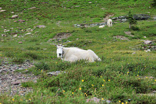 Mountain Goat, Animal, Goat, Mountain, Wild, Wildlife