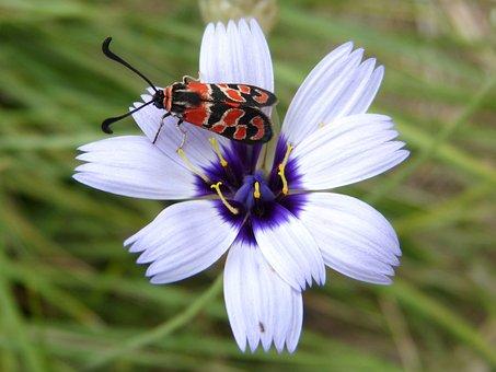 Butterfly, Zygaena Fausta, Gypsy Flower, Beauty