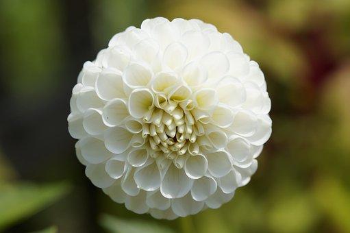 Dahlia, Globose, Ball, White, Flower, Blossom, Bloom