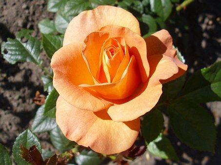 Rose, Bengali, Flower, Orange, Blooming, Petals, Bloom