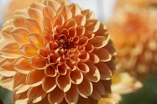 Dahlia, Orange, Ball, Globose, Blossom, Bloom, Flower
