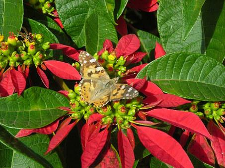 Poinsettia, Butterfly, Madeira, Blossom, Bloom, Close