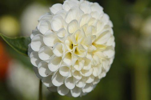 Dahlia, Blossom, Bloom, Globose, Flower, Ball, White