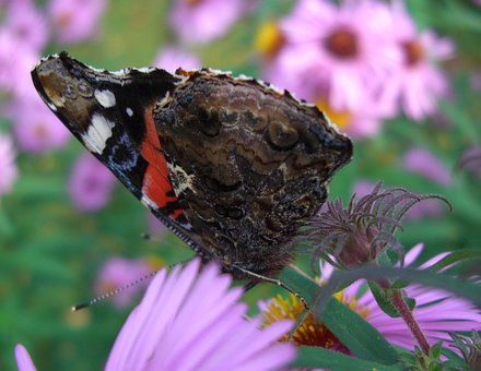 Admiral, Butterfly, Wing Half Closed