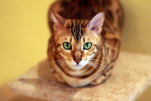 Cat, Bengali, Breed