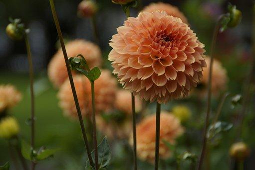 Dahlia, Orange, Garden, Cottage Garden, Close, Flowers