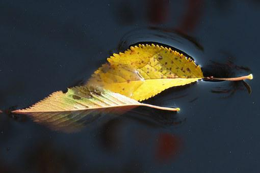 Leaves, Water, Fall Leaves, Leaf, Sheet In The Water