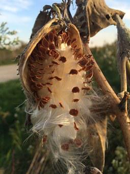 Nature, Milk Weed, Seeds, Bloom, Botany, Fall, Dry, Fly
