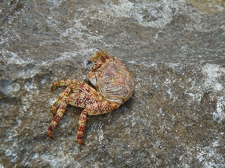 Crab, Ocean, Sea Life, Fish, Marine, Animal, Shell
